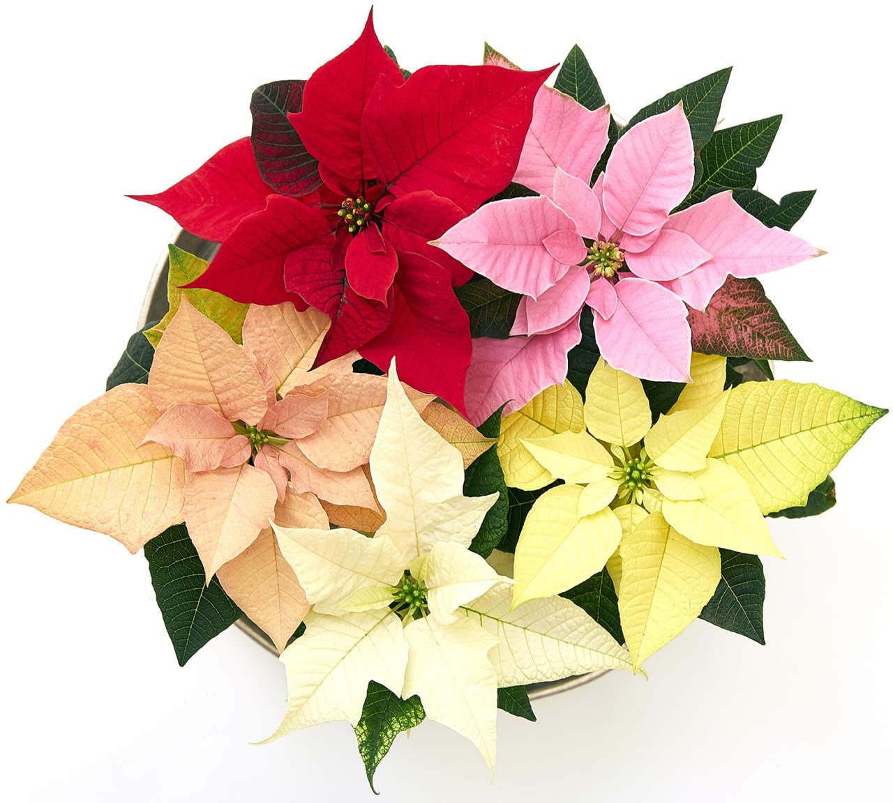 Stella Di Natale Fiore.Poinsettia Meglio Nota Come Stella Di Natale Un Fiore Un