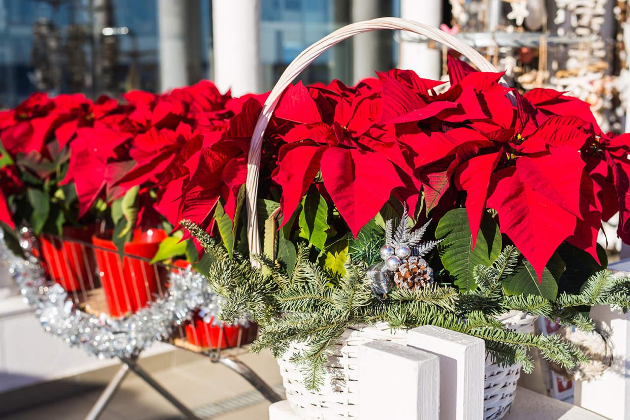 Stelle Di Natale Da Costruire poinsettia, meglio nota come stella di natale, un fiore, un