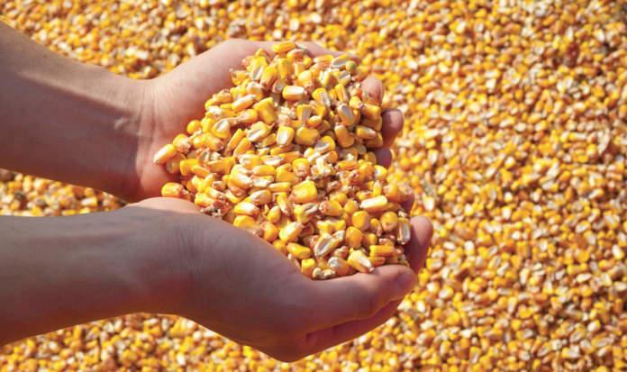 micotossine nel mais
