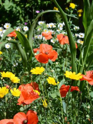 erbe spontanee in giardino
