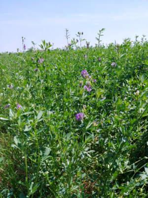 Pianta di erba medica in fioritura