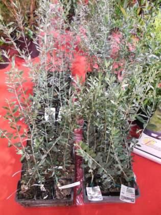 olivi esenti da xylella dei vivai cinelli a flormart 2019