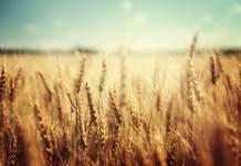 mercato grano duro