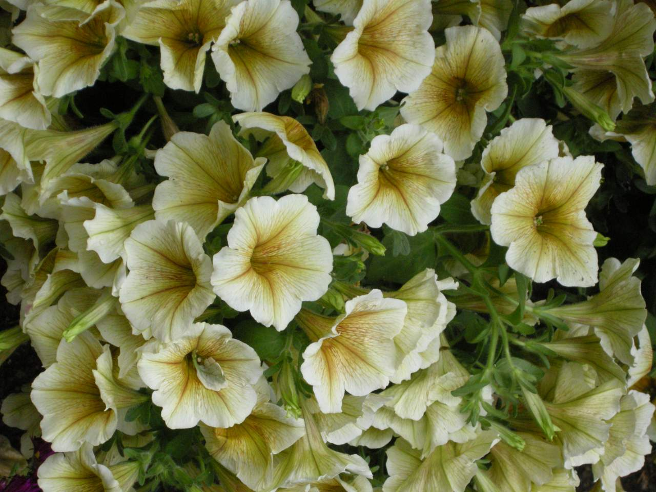 Fiori Campanelle Da Balcone la petunia continua a cambiare, e ora è un fiore tutto nuovo