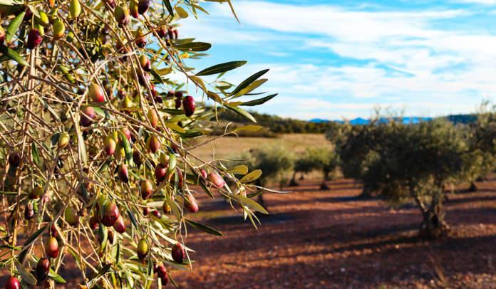 biostimolanti per olivo