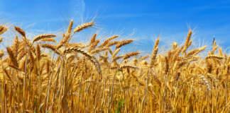cereali vernini certificati